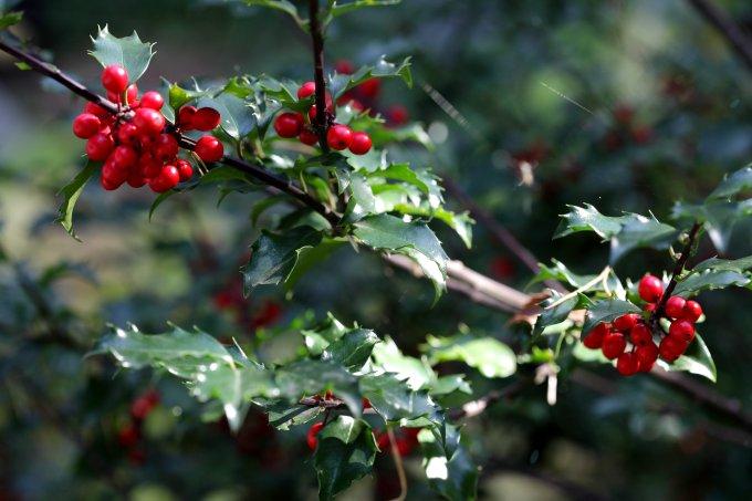 zimozielona roślina