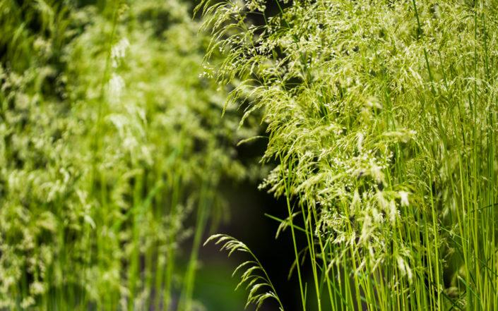 kwiatostany traw ozdobnych latem