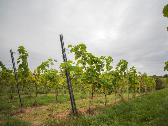 nasadzenia winogron